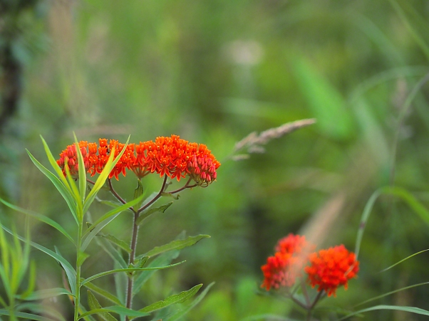 Butterflyweed at Doak Field photographed by Jeff Zablow at Raccoon Creek State Park, PA