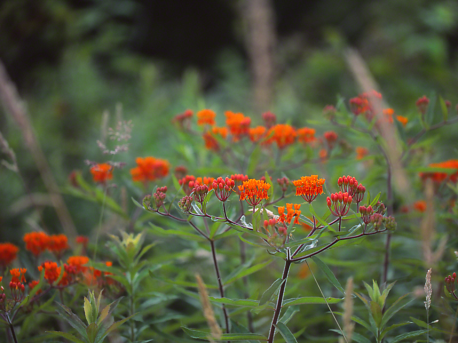 Large Clump of Butterflyweed photographed by Jeff Zablow at Raccoon Creek State Park, PA