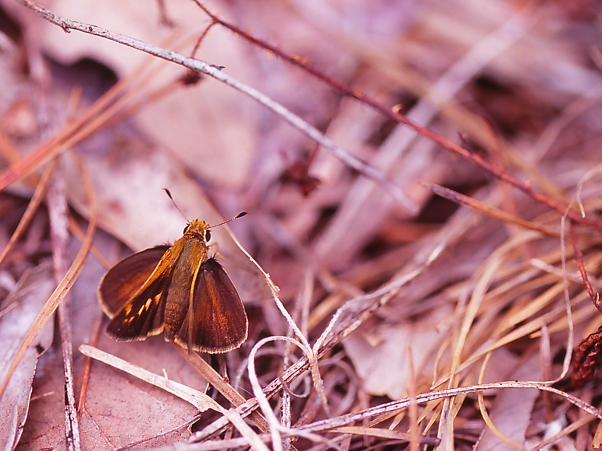 Unidentified Skipper Butterfly photographed by Jeff Zablow at Fort Federica, Saint Simons Island, GA