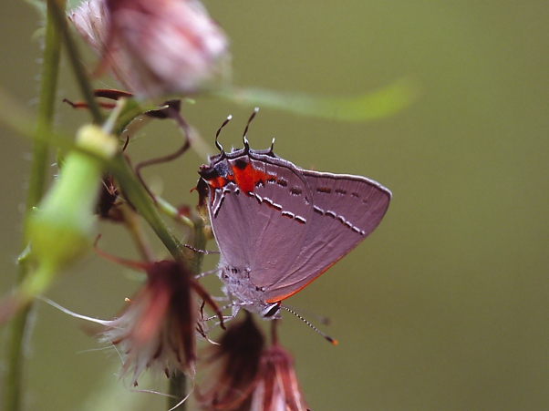 Gray Hairstreak photographed by Jeff Zablow at Fort Federica, Saint Simons Island, GA