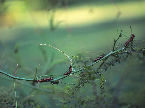 Gulf Fritillary Caterpillars photographed by Jeff Zablow at 303 Garden, GA