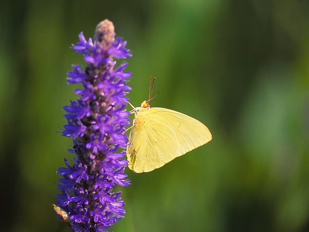 Cloudless Sulphur Butterfly on Pickerel Weed, photographed by Jeff Zablow at Harris Neck National Wildlife Refuge, GA