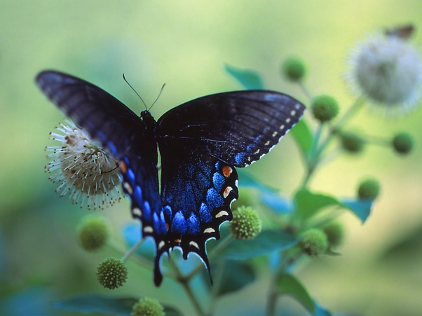 Eastern Tiger Swallowtail Butterfly (Black Form), photographed by Jeff Zablow at Piedmont National Wildlife Refuge, GA