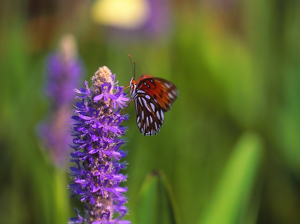 Gulf Fritillary Butterfly on Pickerelweed blooms photographed by Jeff Zablow at Harris Neck National Wildlife Refuge, GA