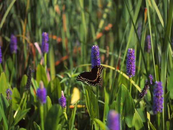 Palamedes Swallowtail Butterfly on Pickerelweed photographed by Jeff Zablow at Harris Neck National Wildlife Refuge, GA