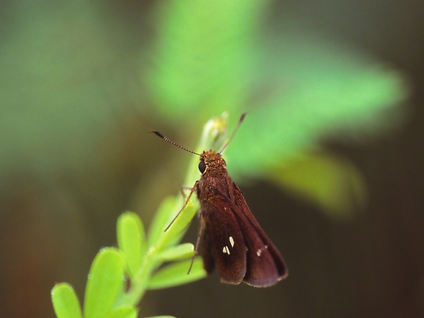 Twin-spot Skipper Butterfly photographed by Jeff Zablow at Harris Neck National Wildlife Refuge, GA