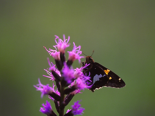 Silver Spotted Skipper Butterfly on Liatris, photographed by Jeff Zablow at Cloudland Canyon State Park, GA
