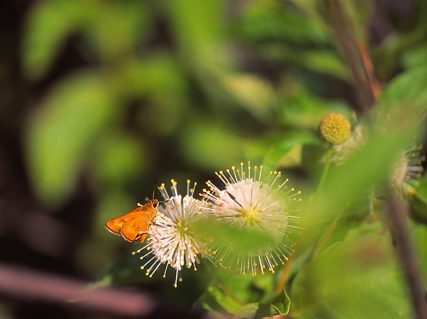 Unidentified Skipper Butterfly on Buttonbush photographed by Jeff Zablow at Piedmont National Wildlife Refuge, GA