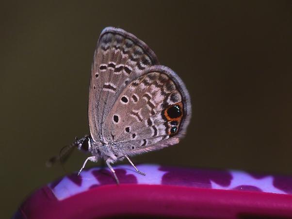 Ceraunus Blue Butterfly photographed by Jeff Zablow at Harris Neck National Wildlife Refuge, GA