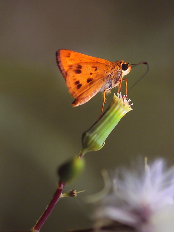 Whirllabout Skipper Butterfly photographed by Jeff Zablow at Fort Federica, Saint Simons Island, GA