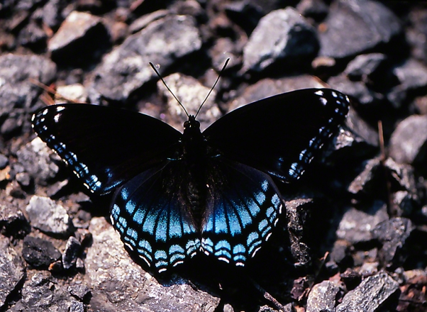 Red-Spotted Purple butterfly photographed by Jeff Zablow at Raccoon Creek Park, PA, 8/24/07