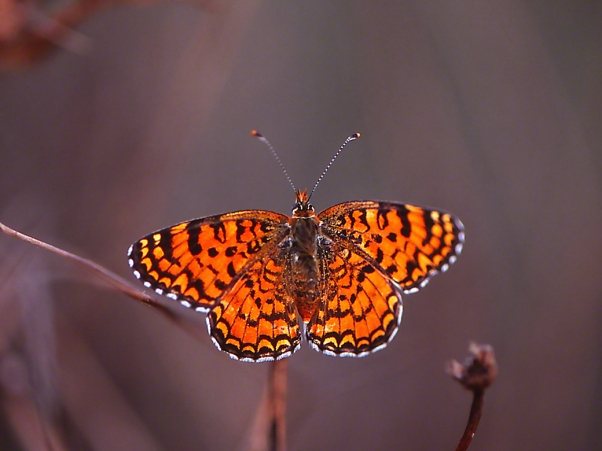 Melitaea Phoebe butterfly photographed by Jeff Zablow at Mishmarot, Israel