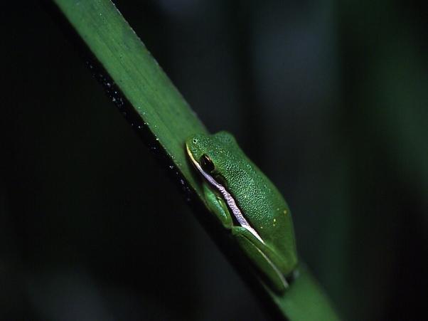 Tree Frog photographed by Jeff Zablow at Harris Neck National Wildlife Refuge, Georgia