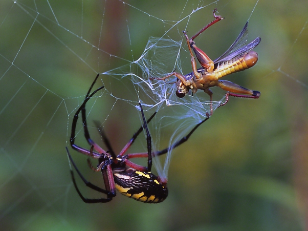 Black and Yellow Argiope photographed by Jeff Zablow at Powdermill Wildlife Refuge, Rector, Pennsylvania