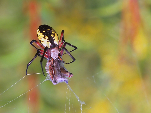 Black and Yellow Argiope 2 photographed by Jeff Zablow at Powdermill Wildlife Refuge, Rector, Pennsylvania
