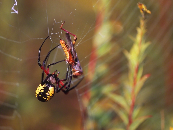 Black and Yellow Argiope 3 photographed by Jeff Zablow at Powdermill Wildlife Refuge, Rector, Pennsylvania