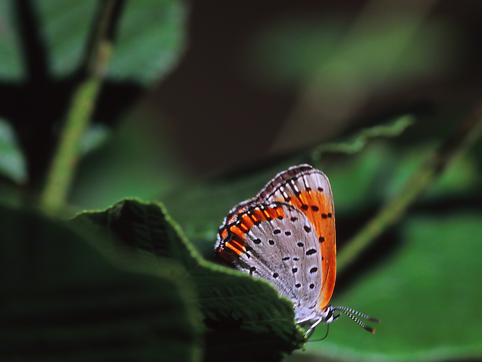 Bronze Copper Butterfly photographed by Jeff Zablow at Raccoon Creek State Park, Pennsylvania