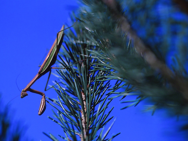Praying Mantis on New England Aster photographed by Jeff Zablow at Raccoon Creek State Park, Pennsylvania