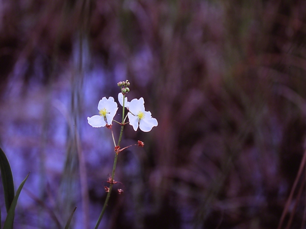 Wetland Flower photographed by Jeff Zablow at Big Bend Wildlife Management Area, Florida