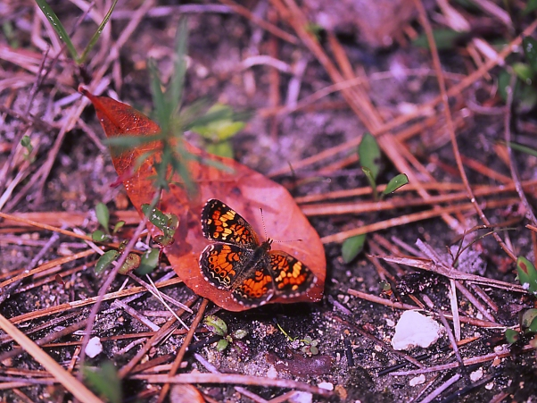 Phaon Crescent Butterfly 3 photographed by Jeff Zablow at Big Bend Wildlife Management Area, Florida