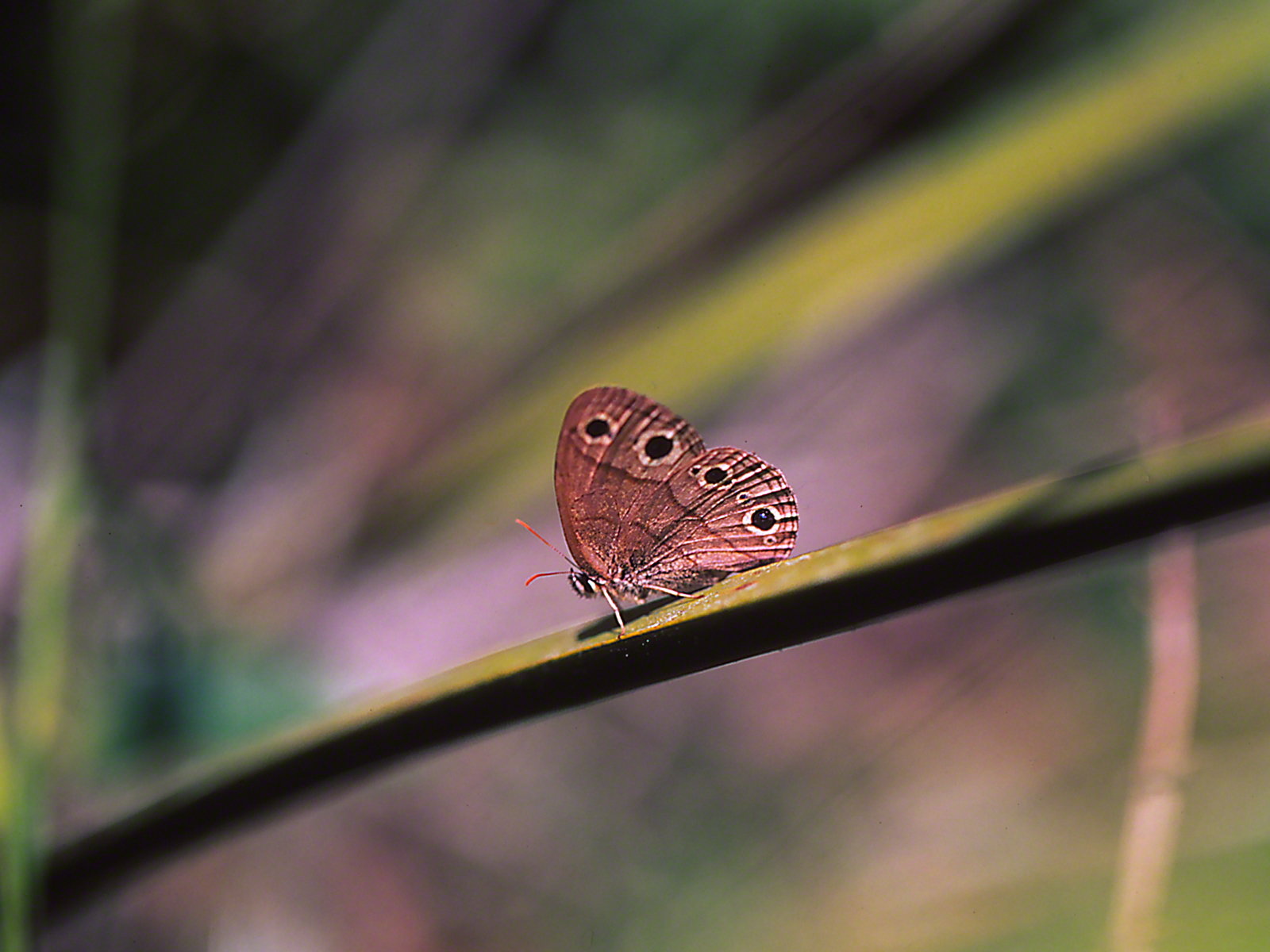 Little Wood Satyr Butterfly photographed by Jeff Zablow at Big Bend Wildlife Management Area, Florida