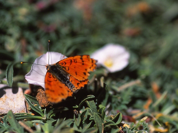 Rare Copper Butterfly photographed by Jeff Zablow at Mt. Hermon, Israel