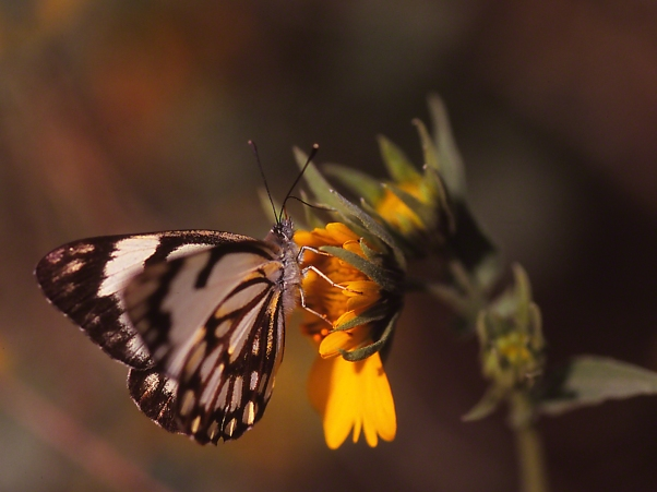 Caper White Butterfly photographed by Jeff Zablow at Binyamina, Israel
