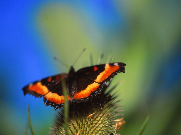 Dorsal View of a Milbert's Tortoiseshell Butterfly photographed by Jeff Zablow at Raccoon Creek State Park, PA