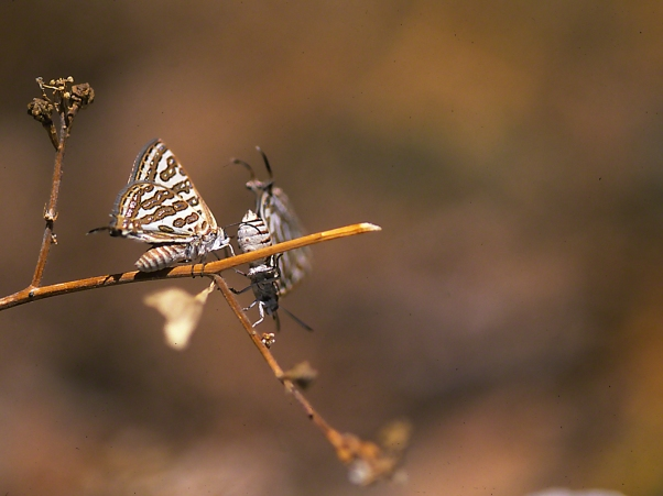 A Pair of Apharitis Acamas Butterflies photographed by Jeff Zablow at Mt. Meron,, Israel