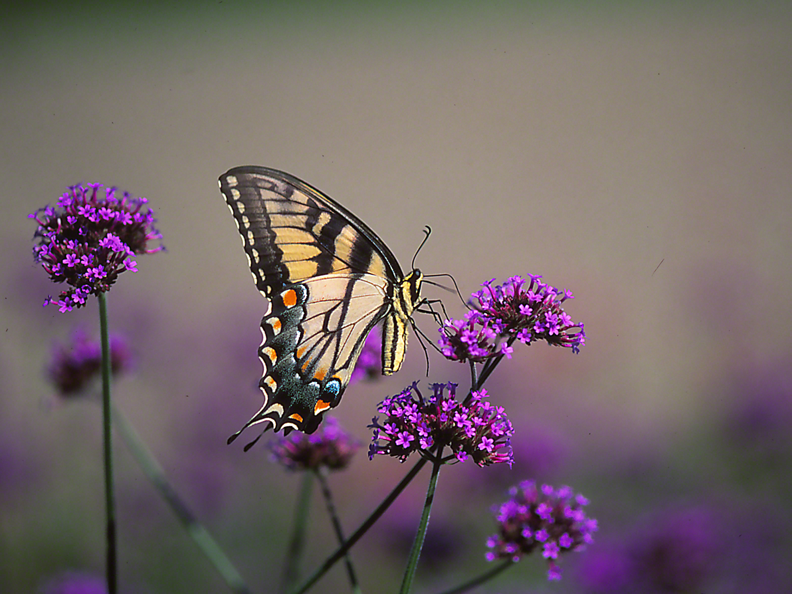 Female Eastern Tiger Swallowtail butterfly on tall Verbena blooms photographed by Jeff Zablow at Phipps Conservatory Outdoor Gardens, Pittsburgh, PA