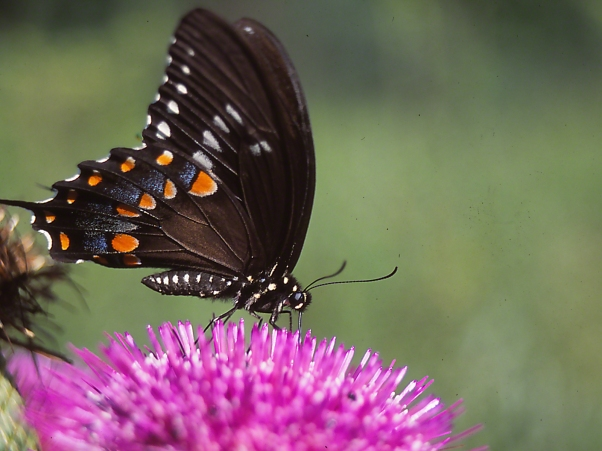 Spicebush Swallowtail butterfly on a Thistle Flowerhead photographed by Jeff Zablow at Raccoon Creek State Park, PA
