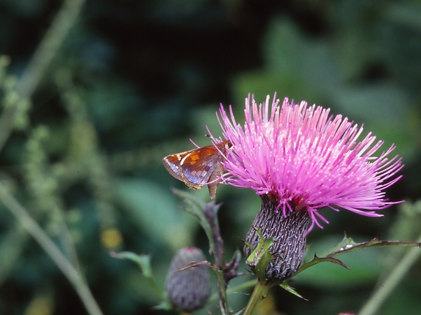 Skipper Butterfly on a Thistle Flowerhead photographed by Jeff Zablow at Raccoon Creek State Park, PA