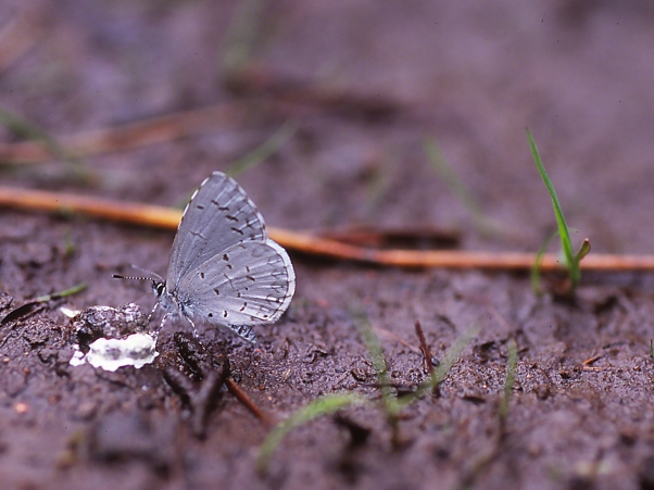 Azure Butterflies on Fecies photographed by Jeff Zablow at Raccoon Creek State Park, PA