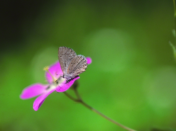 Azure Butterfly on a flower photographed by Jeff Zablow at Raccoon Creek State Park, PA