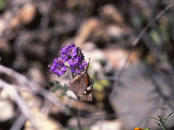 Snout Butterfly on a blooming flower photographed by Jeff Zablow at White Tank Mountains Regional Park, Arizona