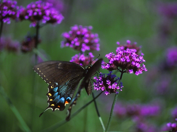 Female Eastern Tiger Swallowtail butterfly resting on a tall Verbena blooms photographed by Jeff Zablow at Phipps Conservatory Outdoor Gardens, Pittsburgh, PA