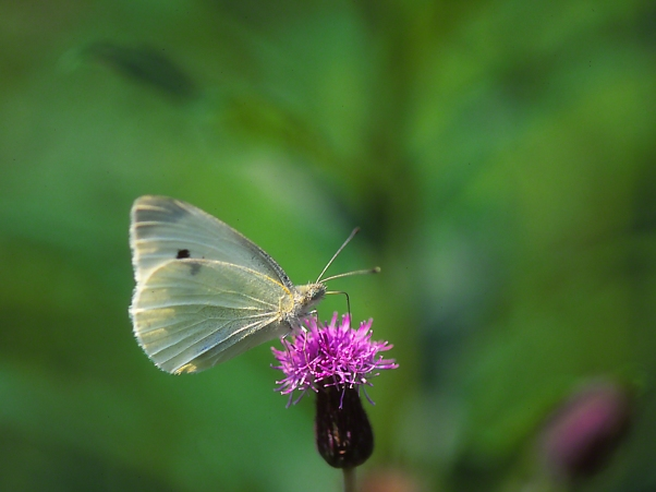 Cabbage White Butterfly on a Thistle photographed by Jeff Zablow at Raccoon Creek State Park, PA