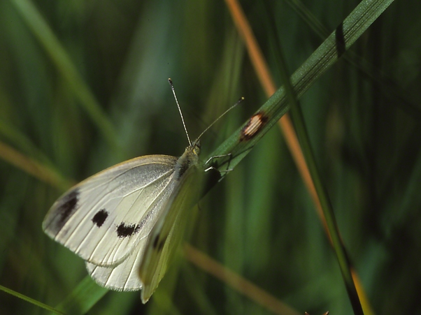 Female Cabbage White Butterfly photographed by Jeff Zablow at Raccoon Creek State Park, PA