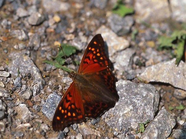 Tawny Emperor Butterfly on Rocky Ground photographed by Jeff Zablow at Raccoon Creek State Park, PA